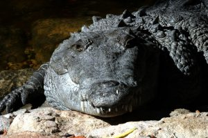 Picture of crocodile.