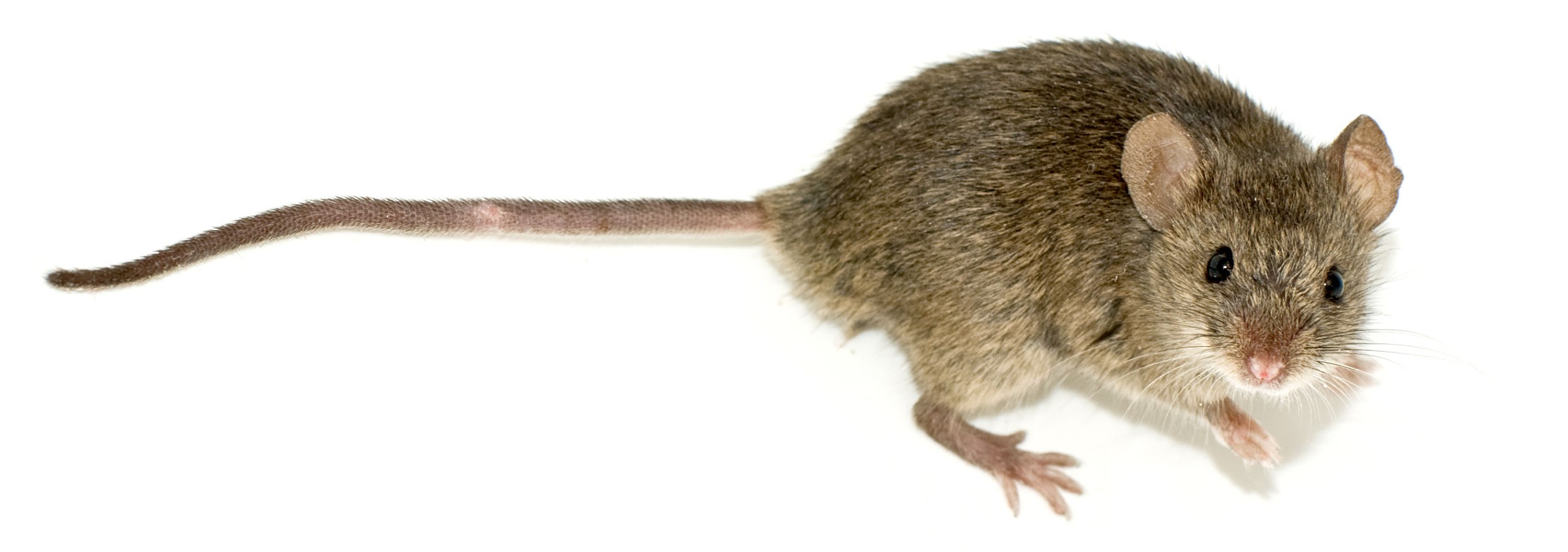 photo of a mouse