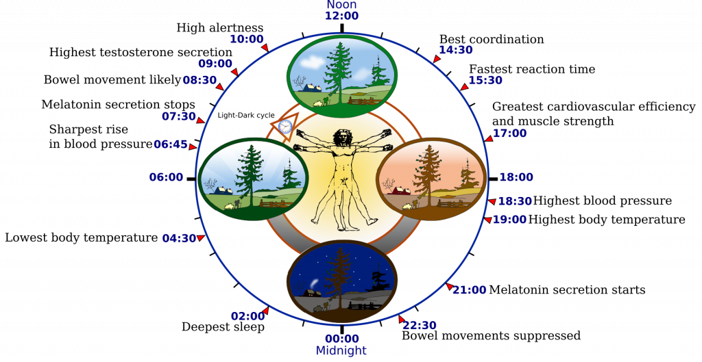circle labeled noon at the top and midnight at the bottom and listing various times of day for best coordination, fastest reaction time, greatest cardiovascular efficiency and muscle strength, highest blood pressure, etc