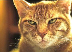 photo of a glaring orange cat