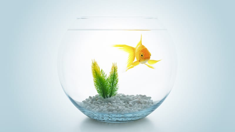 photo of a goldfish in a fishbowl with rocks and a plant on the bottom