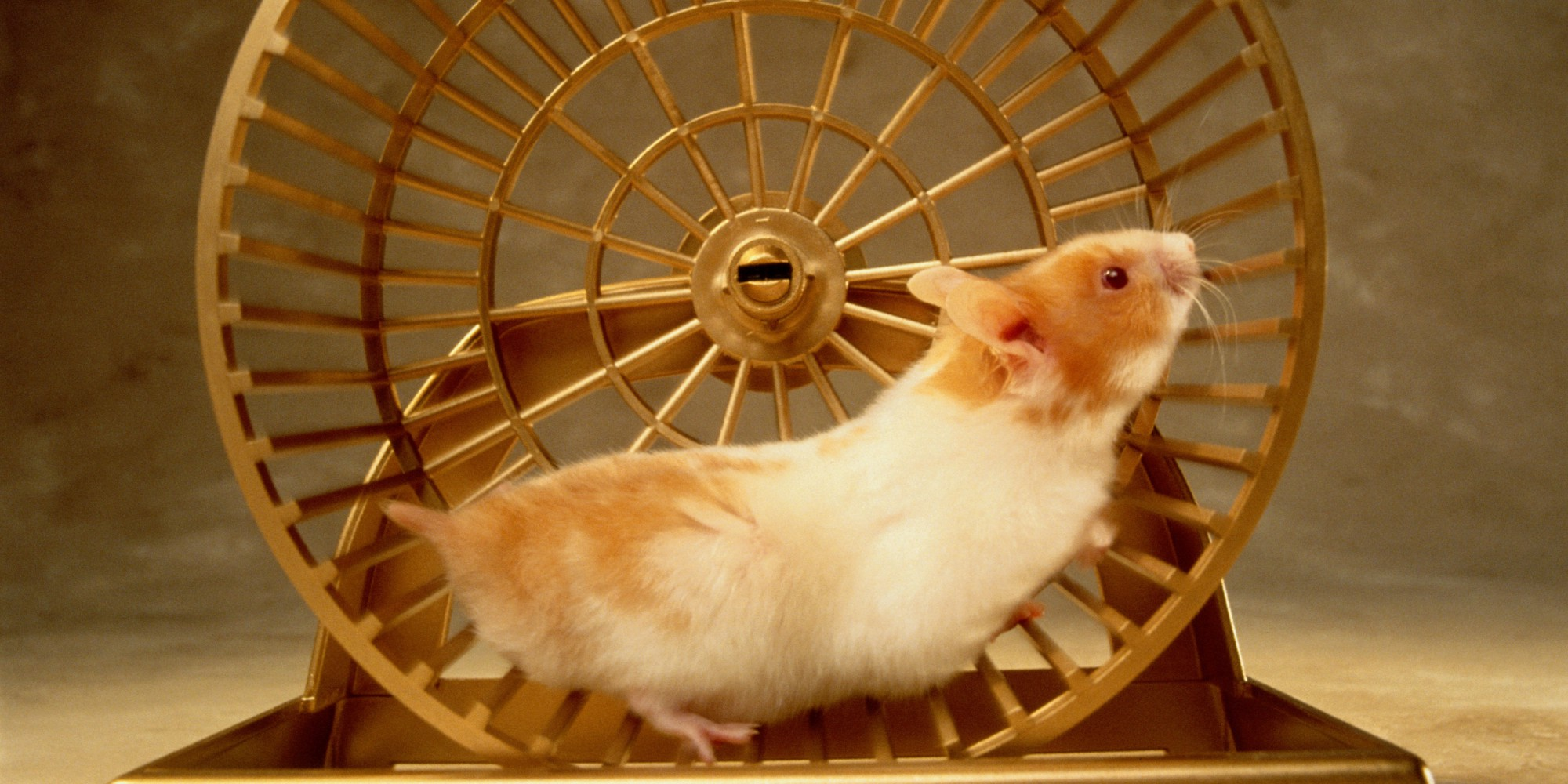 photo of a hamster running in a hamster wheel